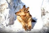Red dog lying in the snow — Stock Photo