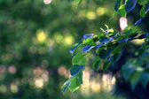 Summer branch leaves background — Stock Photo