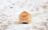 Ginger cat hunts — Stock Photo