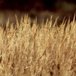 Dry sedge grass background — 图库照片
