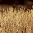 Dry sedge grass background — Photo