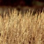 Dry sedge grass background — 图库照片