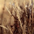 Dry sedge grass background — Stock fotografie