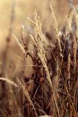 Dry sedge grass background — Stock Photo