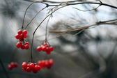 Bayas rojas viburnum — Foto de Stock