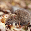 Gray rat — Stock Photo
