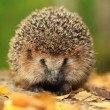 Hedgehog in the autumn forest — Stock Photo #34882991