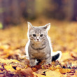 British kitten in autumn park — Stock Photo #34883105