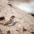 Sparrow cleaned in the sand — Stock Photo