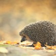 Hedgehog — Stock Photo #34883959