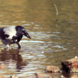 Crow at the river — Stock Photo