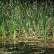 Stock Photo: Bulrush marsh