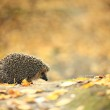 Hedgehog in the autumn forest — Stock Photo #34885505
