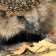 Stock Photo: Hedgehog in the autumn forest
