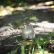 Sparrow on the ground — Stockfoto