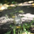 Sparrow on the ground — Stock fotografie