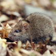 Foto de Stock  : Gray rat