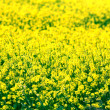 Yellow flowers in a field — Stock Photo