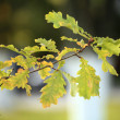 Stock Photo: Autumn oak branch