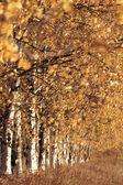 Birch alley in autumn — Stock Photo