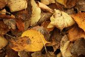 Fallen yellow leaves texture — Stock Photo