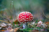 Red fly agaric mushroom — Stock Photo