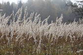 Sedge grass autumn — Stock Photo