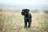 Black Scottish Terrier — Stock Photo