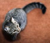Funny gray cat — Stock Photo