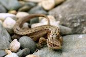 Lizard on the rocks unusual — Foto Stock