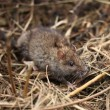 Stock Photo: Gray rat