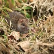 Foto Stock: Gray rat
