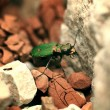 Stock Photo: Green beetle