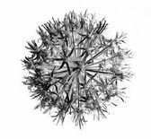 Fluffy white dandelion — Stock Photo