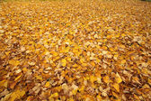 Yellow leaves background — Stock Photo