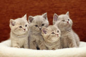 Gray British kittens — Stock Photo