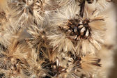 Autumn dry grass sedge — Stock Photo