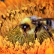 Stock Photo: Bumble bee on flower
