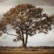 Stock Photo: Lonely oak tree fall