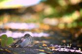 Sparrow on the ground — Foto de Stock