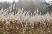 Sedge grass autumn back — Stock Photo