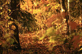 Autumn forest sunset — Stock Photo