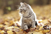 British kitten — Stock Photo