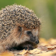 Hedgehog in the autumn forest — Stock Photo