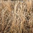 Dry grass sedge — Stock Photo #41200675