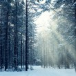 Winter forest sunset — Stock Photo
