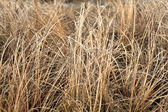 Dry grass sedge — Stock Photo