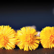 Yellow coltsfoot flowers — Stock Photo