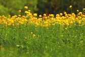 Yellow buttercup — Stock Photo