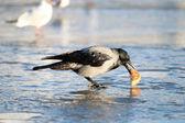 Ворона в зимний период — Стоковое фото